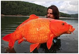 fish giant goldfish in lake tahoe