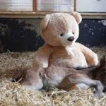 An Orfan Pony sleeps with Teddy Bear